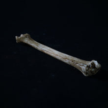 Load image into Gallery viewer, Medium Goat Bone - Resin Reproduction