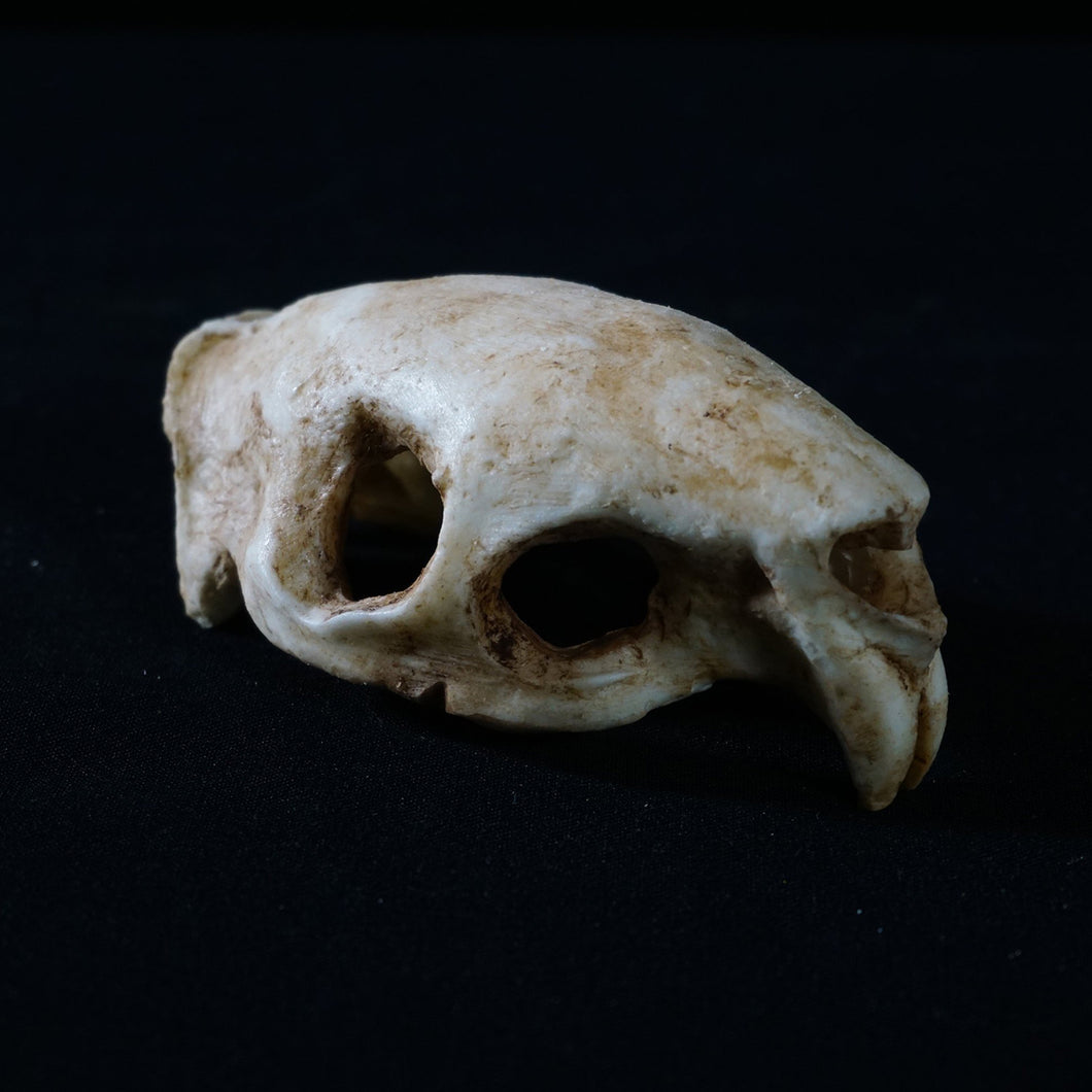 Porcupin Skull - Resin Reproduction