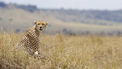 Wild Cheetah in Kenya