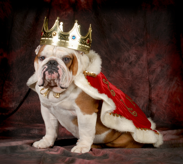 Royal Bulldog