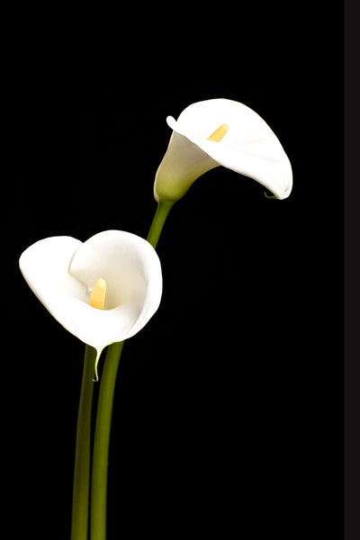 Blossoming Calla Lilies