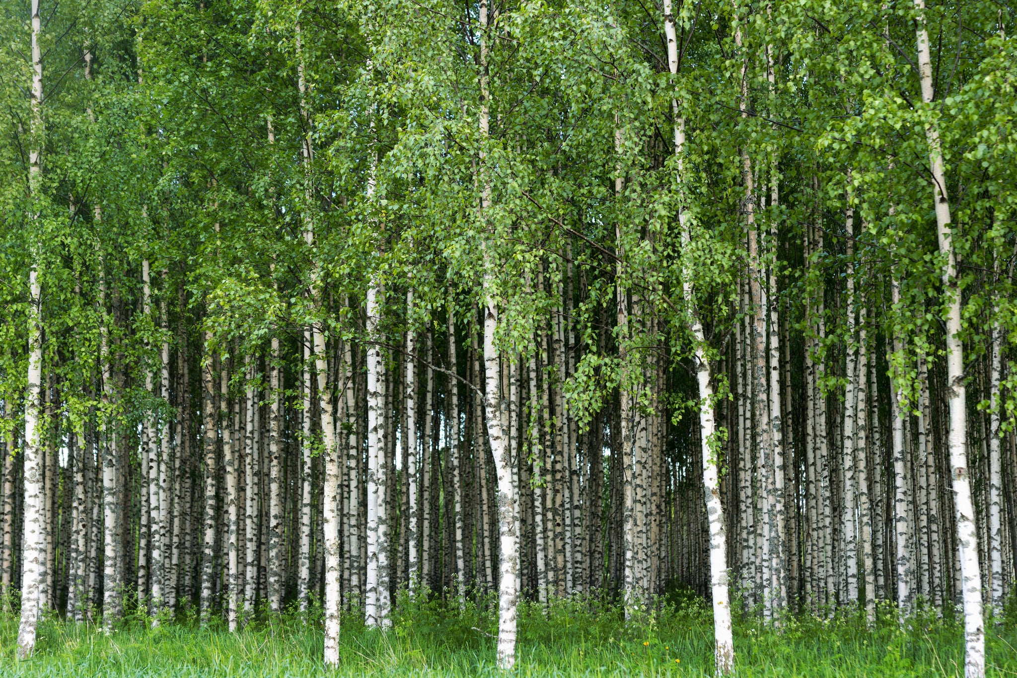 Birch Trees Grove