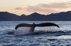 Killer Whale At Sunset