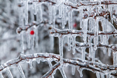 Icicles On A Berry Tree