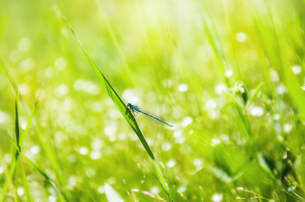 Dragon Fly and Green Grass