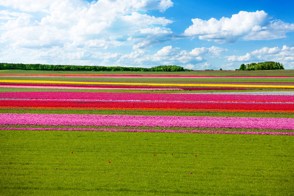 Tulips and Green Grass