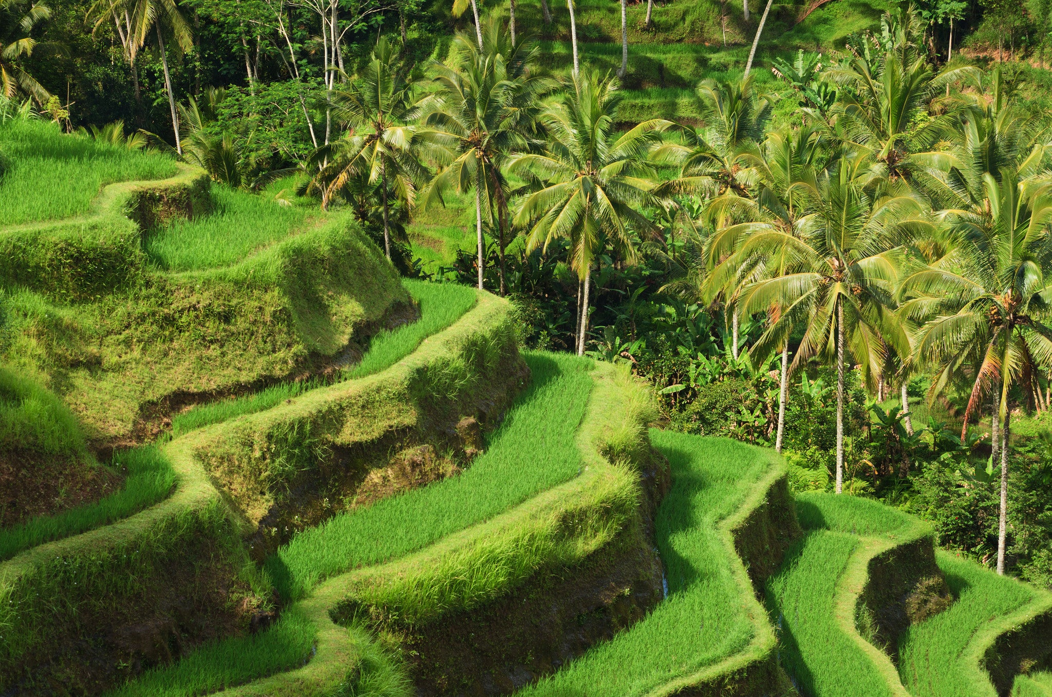 Rice Terrace in Bali