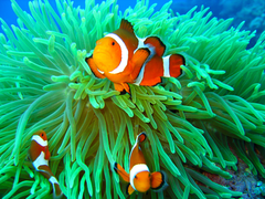 Clownfish Family