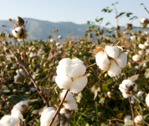 How Sustainable Is Organic Cotton?