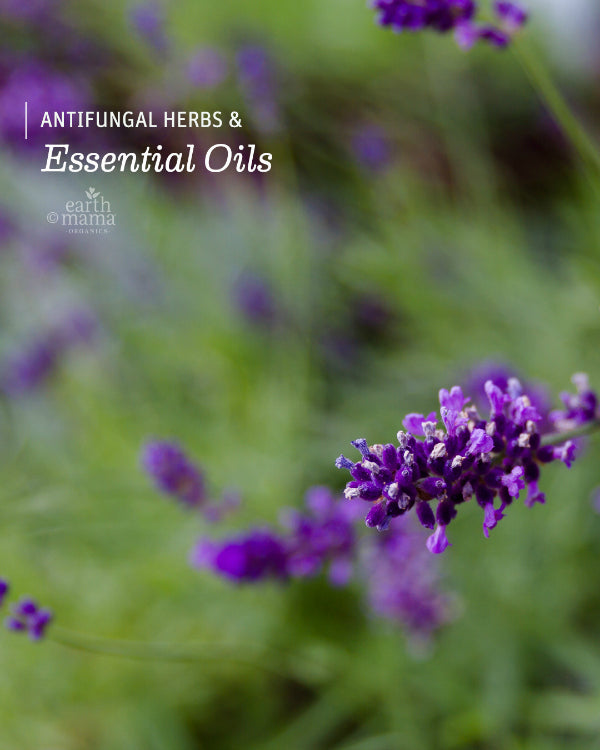 Antifungal Herbs and Essential Oils - Earth Mama Blog