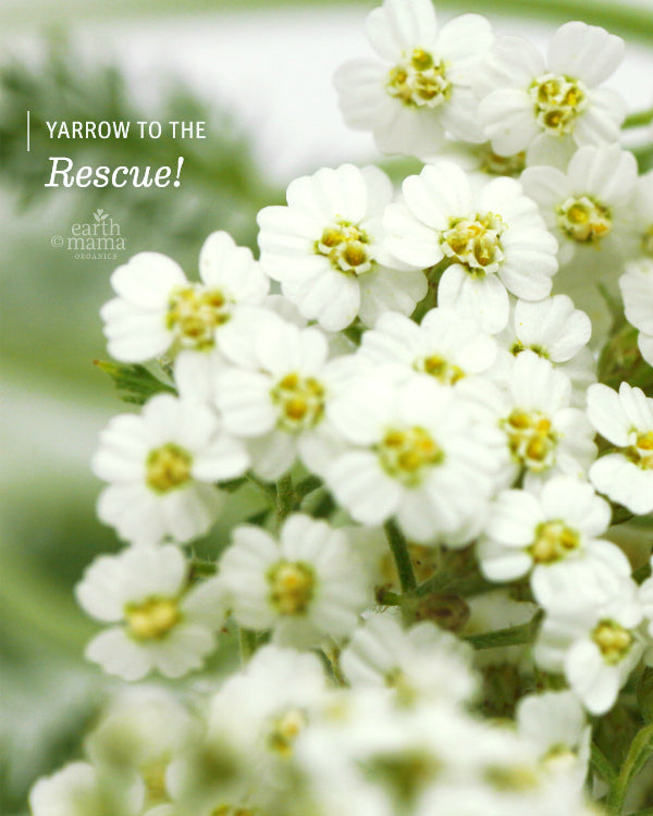 Yarrow To The Rescue - Earth Mama Blog