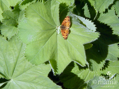 One for the Ladies: Lady's Mantle - Earth Mama Blog