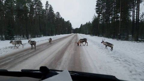 Reindeer in the road