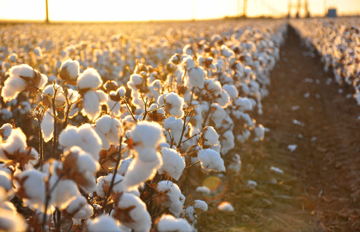 Cotton plant field, attribution: Kimberly Vardeman