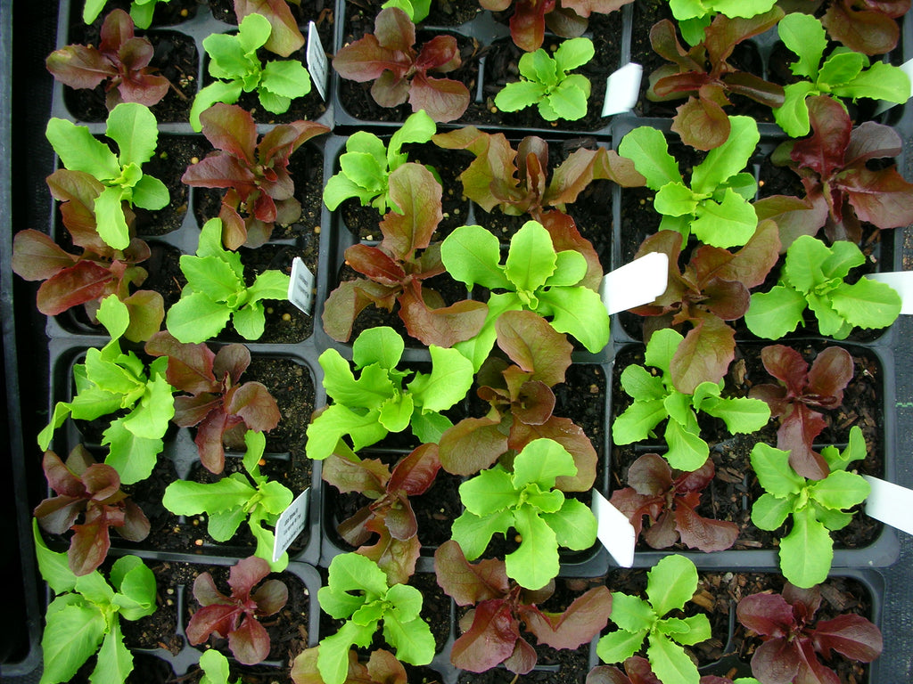 small lettuce plants