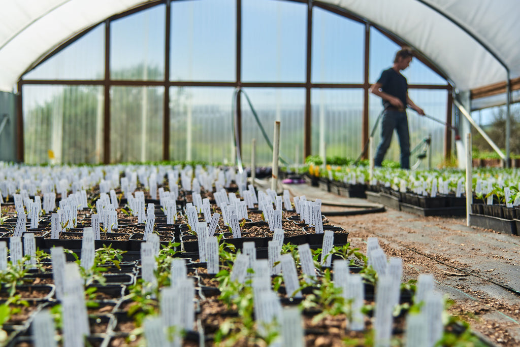 small seedlings in pots in a greenhouse with a person watering in the background