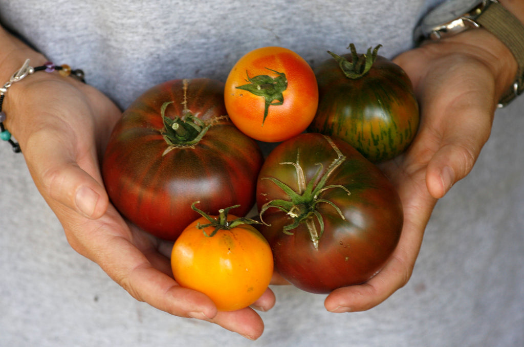 two hands holding a variety of heirloom tomatoes