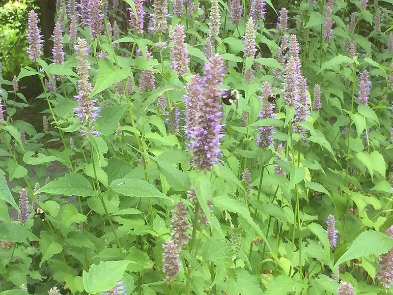 bees landing on anise hyssop flowers