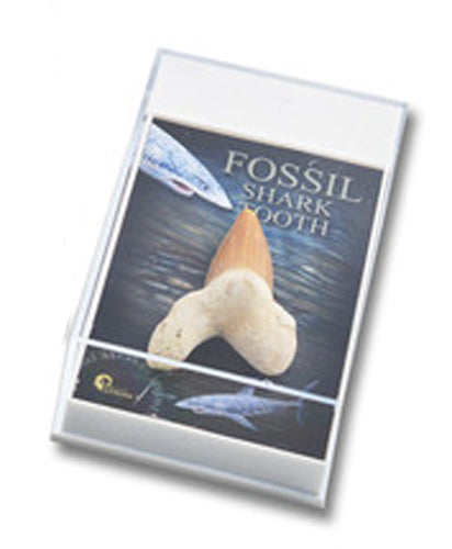 Gift Boxed Fossil: Shark's Tooth