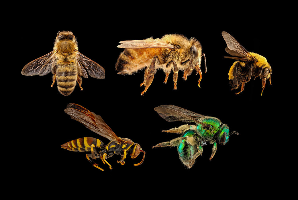 Honey bees, bumble bees, wasps and sweat bees have very different and distinct characteristics