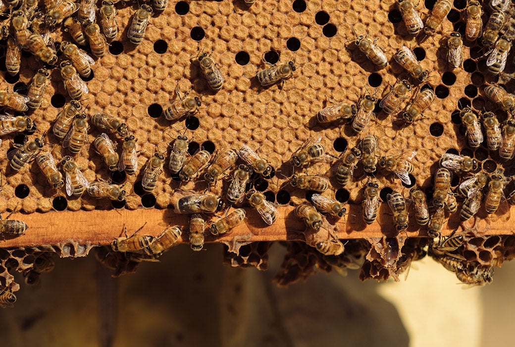 Honey bees seal the honeycombs to preserve the honey for years to come