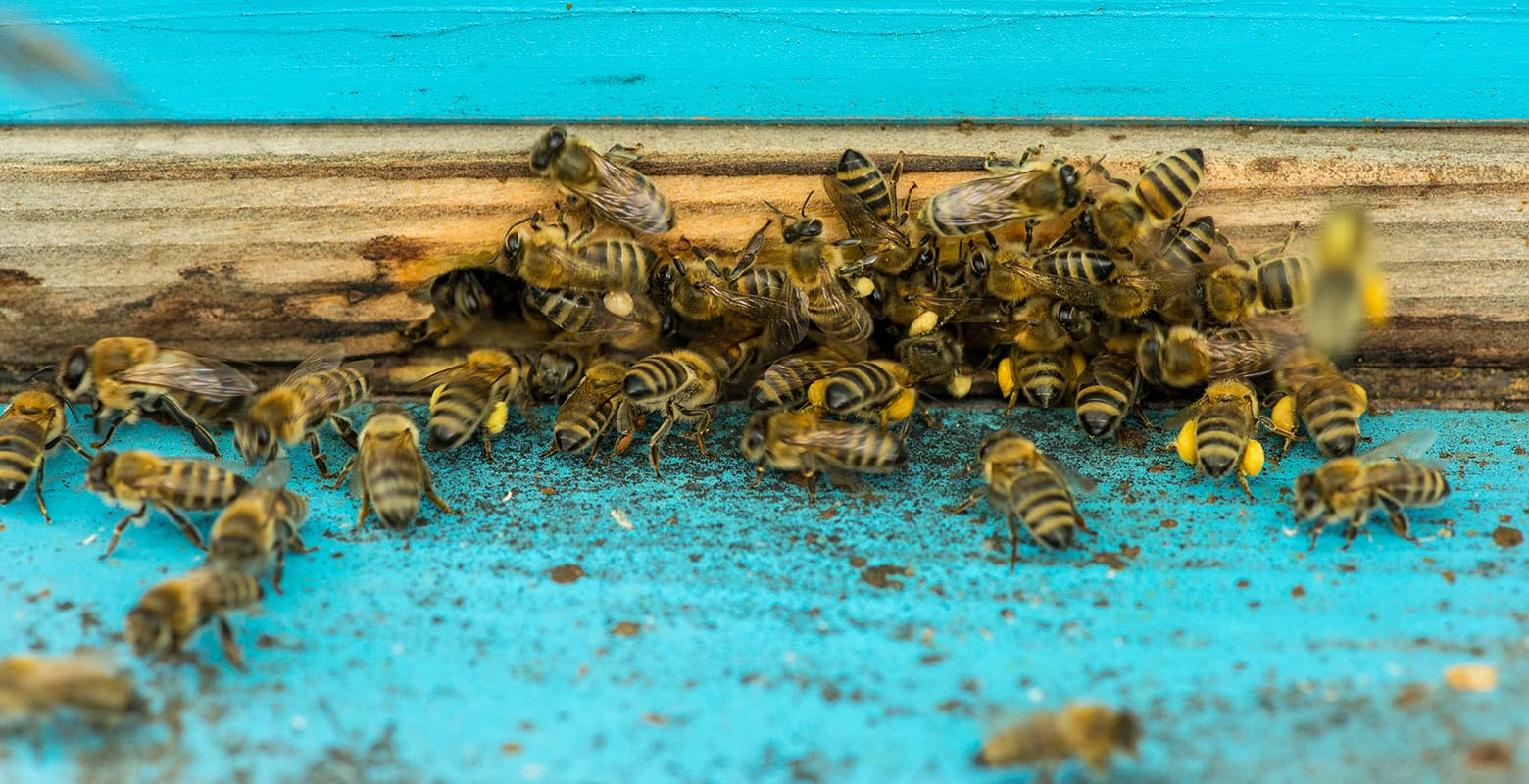 """Honey bees bring pollen back to the hive in their """"pollen baskets"""""""