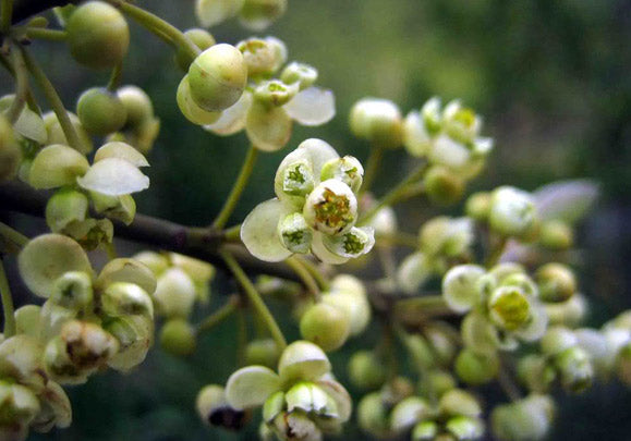 May Chang (Litsea Cubeba)