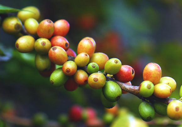 Green Coffee (Coffea Arabica)
