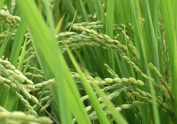 Rice (Oryza sativa)