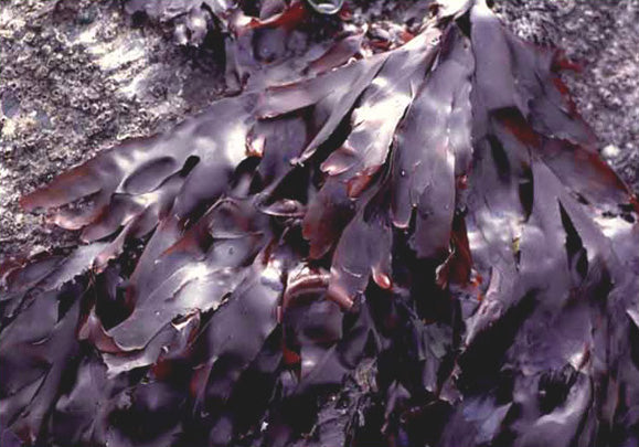 Dulse Red Algae (Palmaria Palmata)