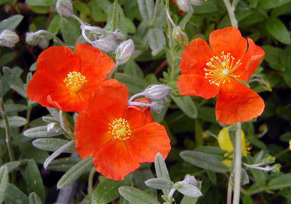 Rock Rose (Cistus ladanifer)