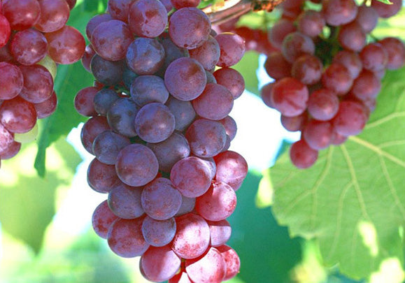 Grape Vine (Vitis Vinifera)