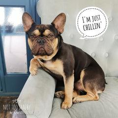 I'm just chilling Sully the chocolate and tan French Bulldog