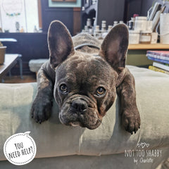 You need help? Stan the blue brindle French Bulldog puppy
