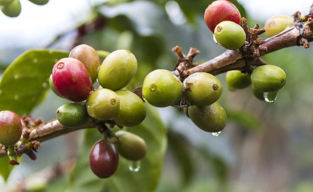 What Is a Coffee Bean? The Anatomy of The Coffee Cherry