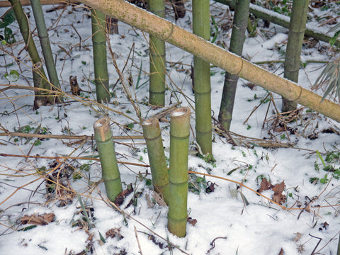 Harvested Bamboo Stumps
