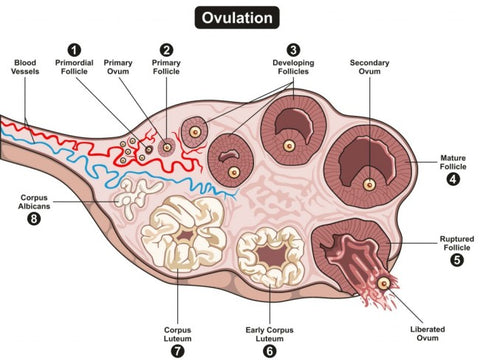 Ovulation-get-pregnant-fast