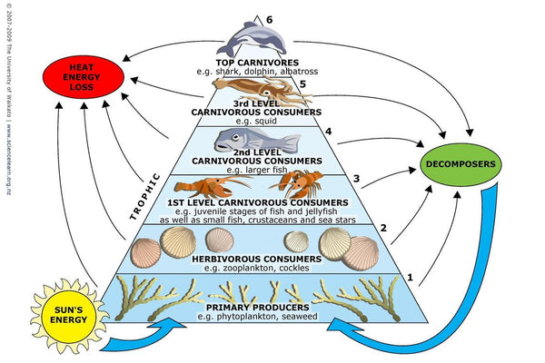 Marine Trophic Pyramid | Rogue Oysters