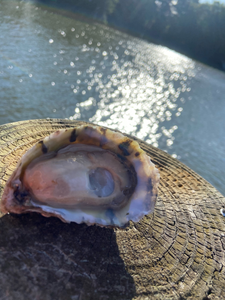 Oysters, 3""