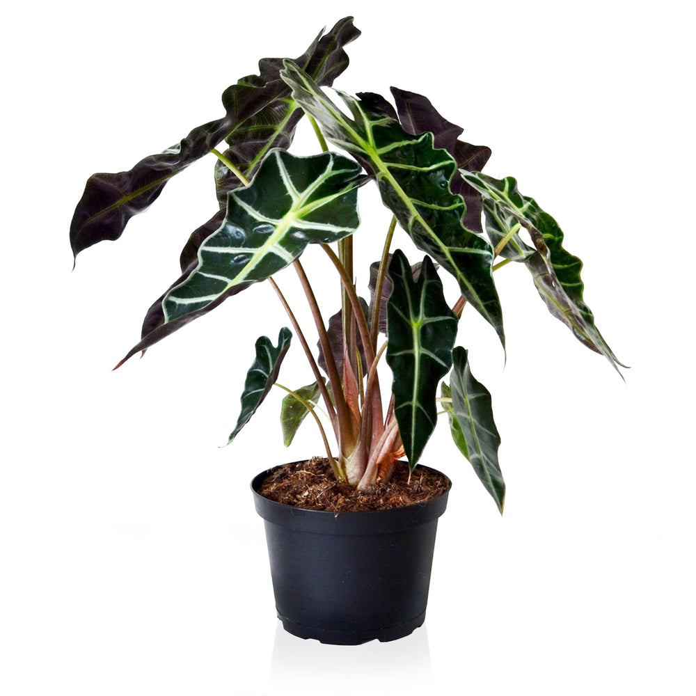 Alocasia Polly 6""