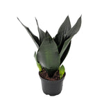 Black Dragon Snake Plant 6""