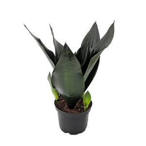 Load image into Gallery viewer, Black Dragon Snake Plant 6""