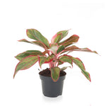 Red Chinese Evergreen 5""