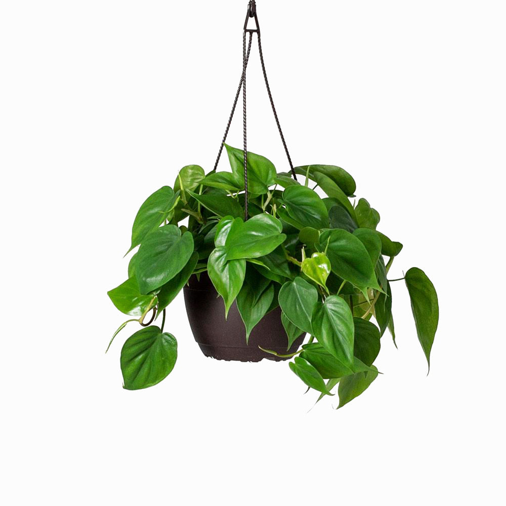 Heartleaf Philodendron HB 8""