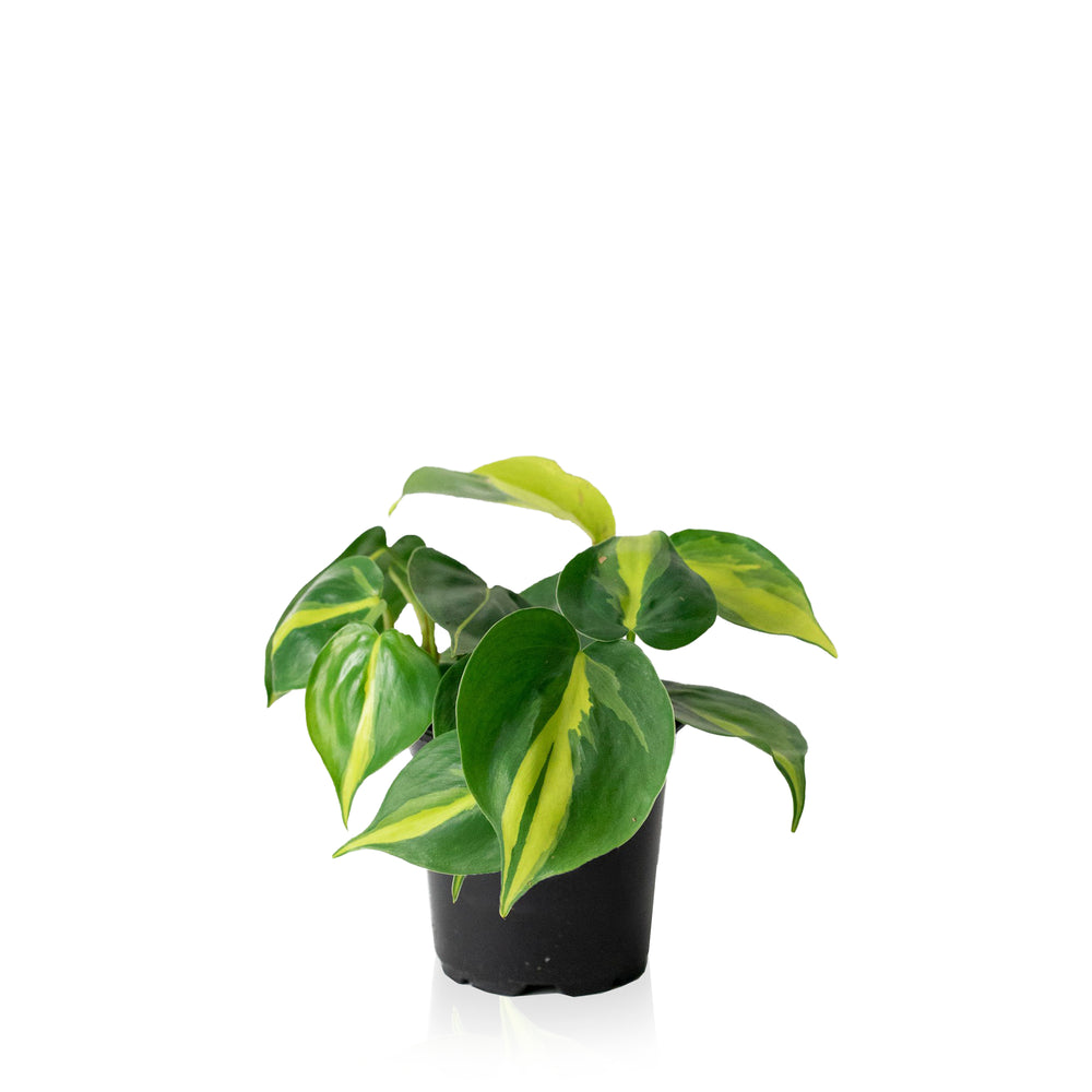 Philodendron Brasil 4""