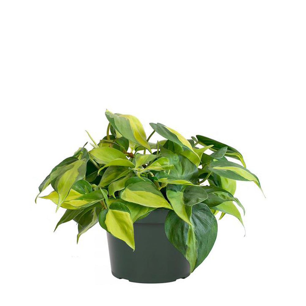 Load image into Gallery viewer, Philodendron Brasil 6""