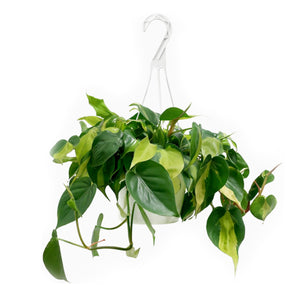 "Load image into Gallery viewer, Philodendron Brasil 8"" HB"