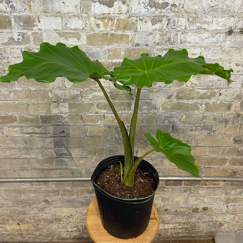 Load image into Gallery viewer, Alocasia Portodora 10""