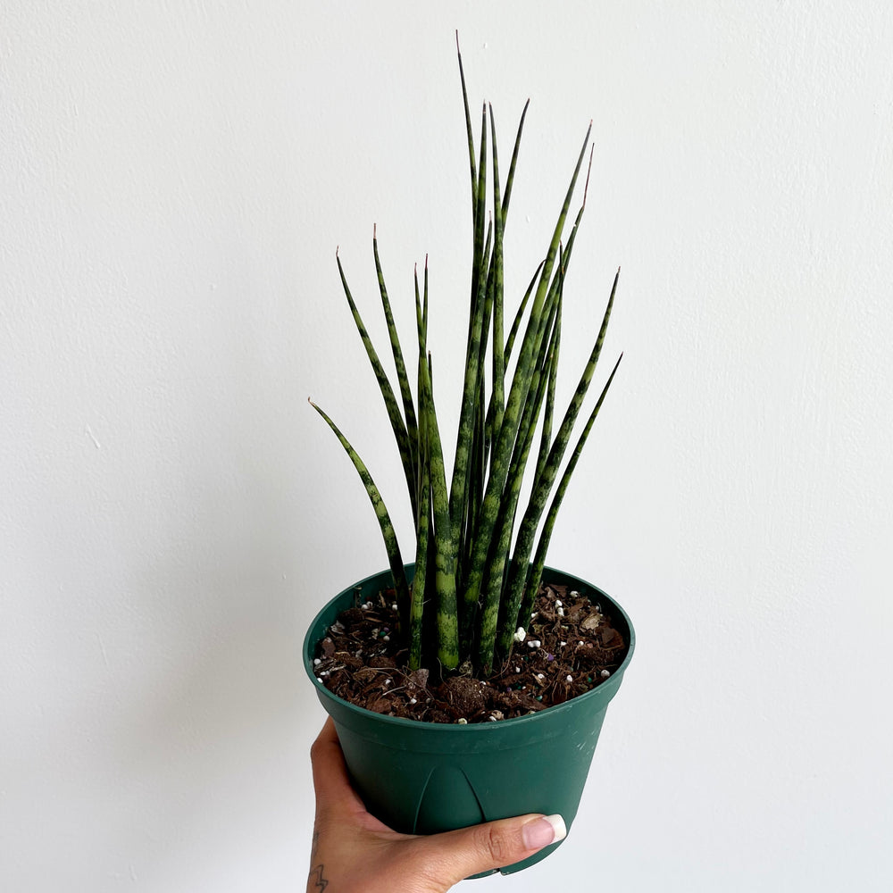 "Load image into Gallery viewer, Sansevieria ""Mikado"" Fernwood  6"""