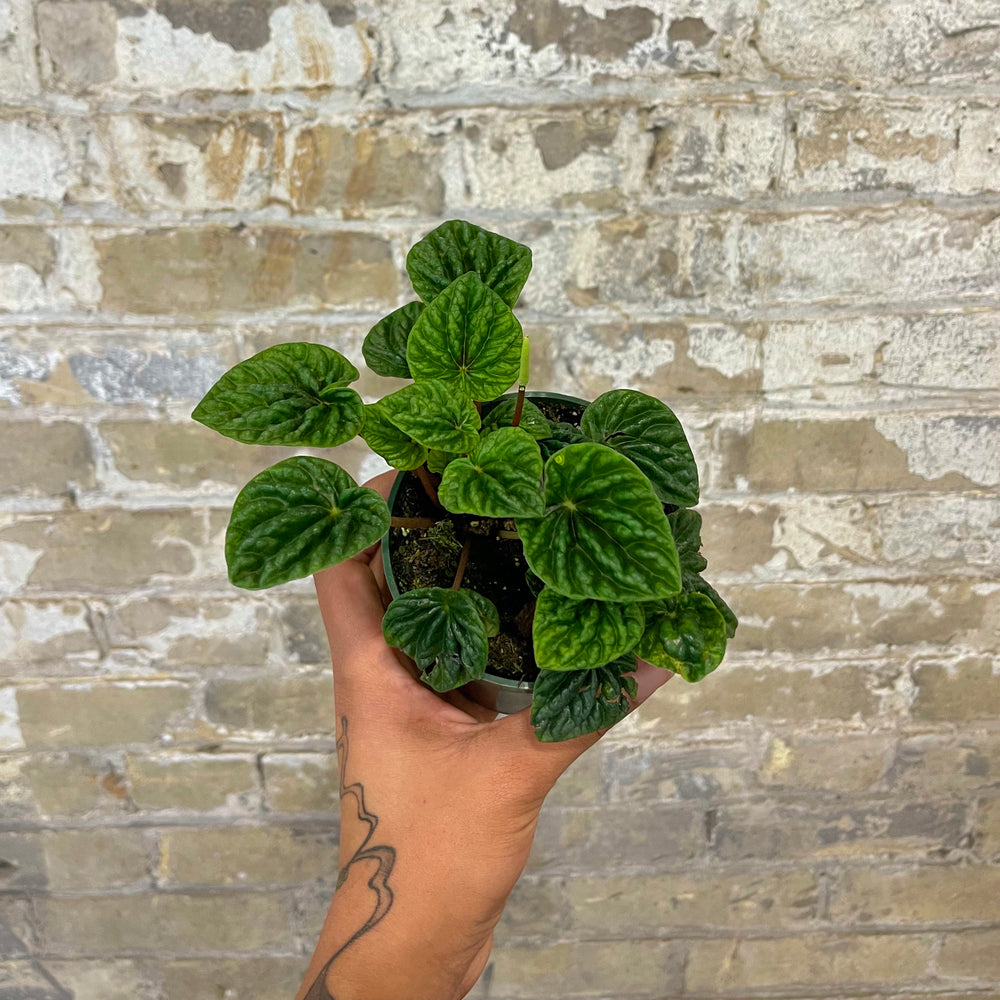 Load image into Gallery viewer, Peperomia Green Ripple 4""